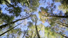 Het bos van de berk in de herfst stock video