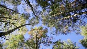 Het bos van de berk in de herfst stock footage