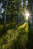 Het bos van de berk in de ochtend Royalty-vrije Stock Afbeeldingen
