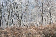 Het bos van de berk in de winter royalty-vrije stock afbeelding
