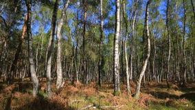 Het bos van de berkboom stock videobeelden