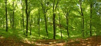 Het bos van de beuk Stock Foto
