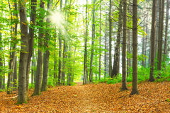 Het bos van de beuk royalty-vrije stock foto's