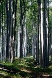 Het bos van de beuk Royalty-vrije Stock Afbeeldingen