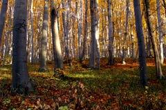 Het bos van de beuk in de herfst stock afbeelding