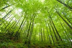 Het bos van de beuk in de lente stock afbeelding