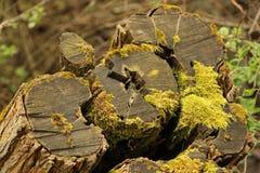 Het bos van de de Boomstamaard van de mosboom stock foto