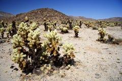 Het Bos van de cactus Royalty-vrije Stock Afbeeldingen