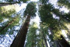 Het Bos van de Californische sequoia stock afbeelding