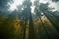 Het Bos van de Californische sequoia stock foto's