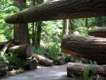 Het bos van de ceder Royalty-vrije Stock Foto
