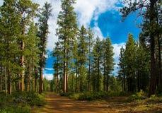 Het bos van de ceder in Oregon Stock Afbeelding