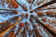 Het bos van de de herfstberk Royalty-vrije Stock Foto's