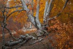 Het bos van de de herfstmist royalty-vrije stock afbeelding