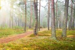 Het bos van de de herfstpijnboom Stock Afbeeldingen