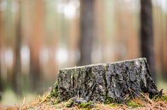 Het bos van de de herfstpijnboom Royalty-vrije Stock Afbeeldingen