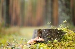 Het bos van de de herfstpijnboom Stock Foto
