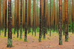 Het bos van de de herfstpijnboom Royalty-vrije Stock Foto's