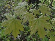 Het bos van de de klimopzomer van de bloemlandbouw van de de esdoorndruif van de de tuinherfst de schoonheids groene blad verlaat Royalty-vrije Stock Foto's