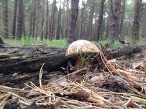 Het Bos van de de lentepijnboom Royalty-vrije Stock Afbeelding