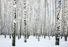 Het bos van de de winterberk stock afbeelding