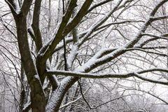 Het bos van de de winterbeuk in sneeuwval Stock Foto