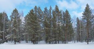 Het bos van de de winterpijnboom in koude dag Stock Afbeelding
