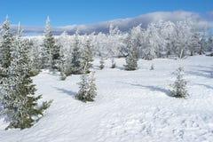Het bos van de de winterspar Royalty-vrije Stock Foto