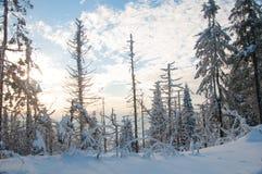 Het bos van de de winterspar Royalty-vrije Stock Afbeeldingen