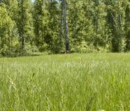 Het bos van de de zomerberk Royalty-vrije Stock Foto's