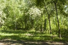 Het bos van de de zomerberk Stock Afbeeldingen