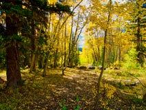 Het bos van de esp en van de pijnboom royalty-vrije stock fotografie