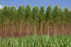 Het bos van de eucalyptus binnen ten noordoosten van Thailand Stock Foto