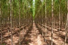 Het bos van de eucalyptus binnen ten noordoosten van Thailand Royalty-vrije Stock Foto