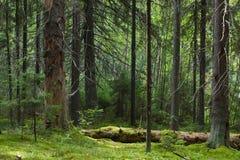Het bos van de geheimzinnigheid Stock Fotografie