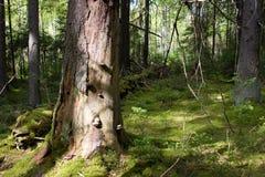 Het bos van de geheimzinnigheid Royalty-vrije Stock Afbeeldingen