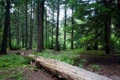 Het Bos van de gletsjer Royalty-vrije Stock Afbeeldingen