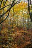 Het bos van de hellingsbeuk Stock Foto's