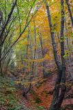Het bos van de hellingsbeuk Royalty-vrije Stock Afbeeldingen