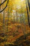 Het bos van de hellingsbeuk Stock Fotografie