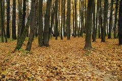 Het bos van de herfst. royalty-vrije stock afbeeldingen