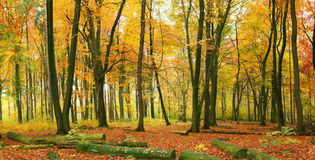 Het bos van de herfst stock afbeeldingen