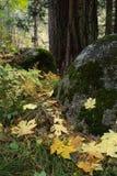 Het bos van de herfst in Yosemite Stock Afbeeldingen