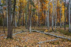 Het bos van de de herfstberk rond heel wat gele bladeren Stock Afbeelding