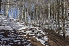 Het bos van de landschapsberk met sneeuw in Maart stock foto