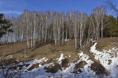 Het bos van de landschapsberk met sneeuw in Maart stock fotografie