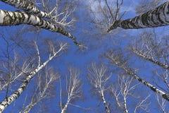 Het bos van de landschapsberk met sneeuw in Maart royalty-vrije stock afbeeldingen