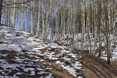 Het bos van de landschapsberk met sneeuw in Maart royalty-vrije stock afbeelding