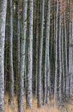 Het bos van de lariks Royalty-vrije Stock Afbeelding