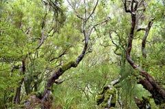 Het bos van de laurier op Madera Royalty-vrije Stock Afbeelding
